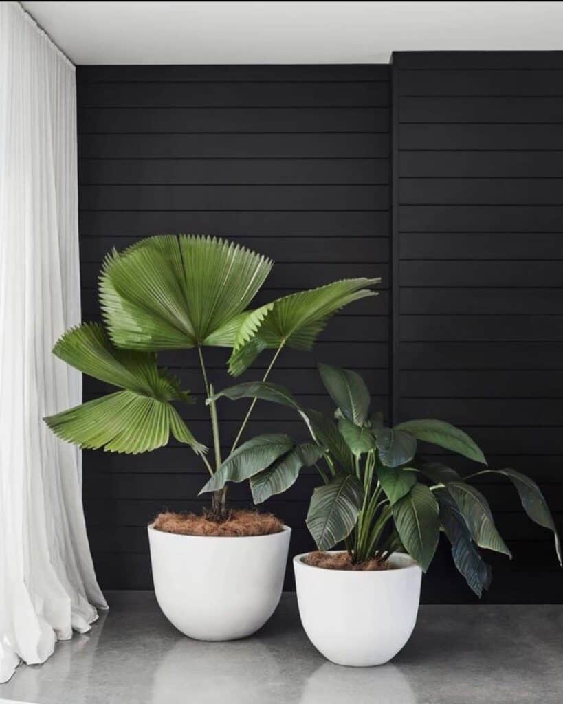 Black Shiplap Wall With large plants and white curtains